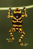 De oranje-gestreepte kikker van het vergiftpijltje Royalty-vrije Stock Afbeeldingen