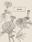 De oranje goudsbloemen, hand trekken schetsvector royalty-vrije illustratie
