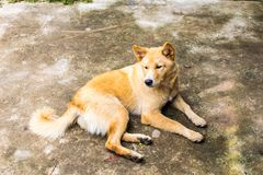 De oranje hond is bruin Zit comfortabel royalty-vrije stock foto