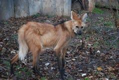 De oranje hyena bekijkt u met formidabele en sluwe ogen royalty-vrije stock foto