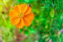 De oranje installatie van Kosmossulphureus op een bloemgebied Royalty-vrije Stock Afbeeldingen