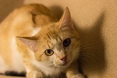 De oranje kat kijkt met rente stock foto's