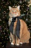 De oranje Kat van de Gestreepte kat Stock Foto