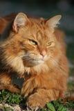 De oranje Kat van de Gestreepte kat in de Zon Royalty-vrije Stock Afbeelding