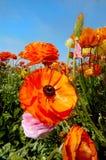 De oranje kleuren van het Gebied van de Bloem Royalty-vrije Stock Fotografie