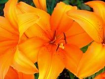 De oranje Lelie van de Tijger royalty-vrije stock foto