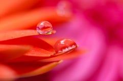De oranje madeliefjekleuren in water laat vallen (3) royalty-vrije stock foto