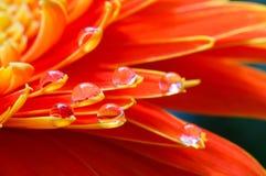 De oranje madeliefjekleuren in water laat vallen (6) stock afbeelding