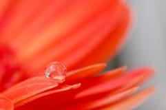 De oranje madeliefjekleuren in water laat vallen (1) royalty-vrije stock foto