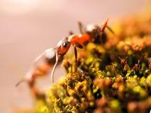 De oranje mieren op een mos fotografeerden dicht Royalty-vrije Stock Fotografie