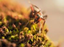De oranje mieren op een mos fotografeerden dicht Stock Afbeeldingen