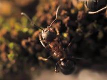 De oranje mieren op een mos fotografeerden dicht Stock Fotografie