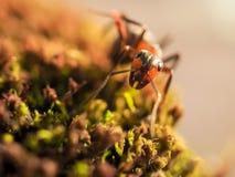 De oranje mieren op een mos fotografeerden dicht Stock Foto
