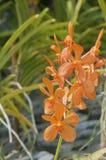 De oranje orchidee van Ascocentrum Miniatum royalty-vrije stock foto