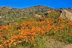 De oranje papaver bloeit helling Californië stock afbeeldingen