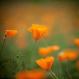 De oranje papaver van Californië in de zon Stock Afbeelding
