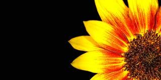 De oranje, rode en gele macrofoto van de vlamzonnebloem met overweldigende intense heldere kleuren als geïsoleerde kadergrens Stock Foto