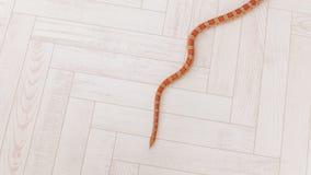 De oranje slang glijdt langzaam rond de witte houten vloer voort reptielen stock footage