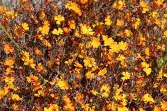 De Oranje Sterren Wildflower van Stellaris van Hibbertia Stock Foto