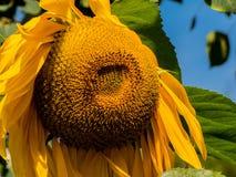 De oranje trillende close-up van de stuifmeelzonnebloem Stock Foto's