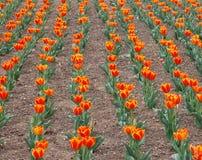 De oranje Tuin van de Bloem van de Tulp Stock Fotografie