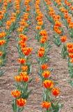De oranje Tuin van de Bloem van de Tulp Stock Foto