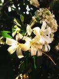 De oranje tuin van de jusmine witte bij Royalty-vrije Stock Foto's
