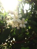 De oranje tuin van de jusmine witte bij Royalty-vrije Stock Afbeeldingen