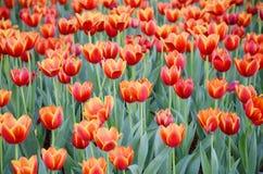 De oranje tulpenbloem in de tuin is natuurlijke achtergrond Royalty-vrije Stock Afbeelding