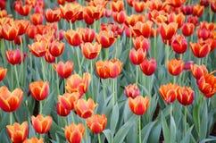 De oranje tulpenbloem in de tuin is natuurlijke achtergrond Stock Afbeelding