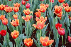 De oranje tulpenbloem in de tuin is natuurlijke achtergrond Stock Afbeeldingen