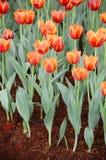 De oranje tulpenbloem in de tuin is natuurlijke achtergrond Royalty-vrije Stock Foto's