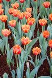 De oranje tulpenbloem in de tuin is natuurlijke achtergrond Royalty-vrije Stock Afbeeldingen