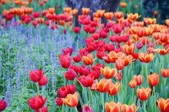 De oranje tulpenbloem in de tuin is natuurlijke achtergrond Stock Fotografie