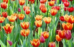 De oranje tulpenbloem in de tuin is natuurlijke achtergrond Stock Foto's