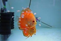 De oranje Vissen van de Discus met Babys Royalty-vrije Stock Afbeeldingen