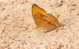 De oranje vlinder eet zoute lik Stock Foto