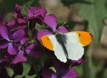 De oranje Vlinder van het Uiteinde Stock Afbeeldingen