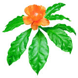 De oranje Was nam verse groene die bladeren op wit, de bovenkant van de de bloemboom van Pereskia Bleo worden geïsoleerd toe Stock Afbeelding