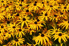 De oranje Winter Dasies Royalty-vrije Stock Foto's