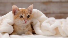 De oranje zitting van de gestreepte katkat onder witte deken stock videobeelden