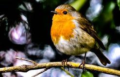 De oranje zitting van de Kanarievogel op een boomtak stock afbeeldingen