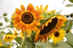 De oranje zonnebloem Stock Foto