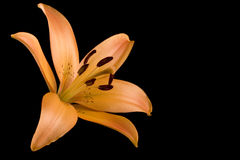 De oranje Zwarte Achtergrond van Lilie van de Tijger Royalty-vrije Stock Afbeelding