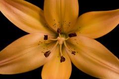 De oranje Zwarte Achtergrond van Lilie van de Tijger Royalty-vrije Stock Fotografie