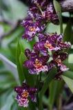 De orchideeën sluiten omhoog bij botanische tuin Royalty-vrije Stock Afbeeldingen