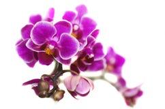 De orchideeën van bloemenphalaenopsis. Royalty-vrije Stock Foto