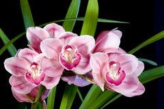 De Orchideeën van Cymbidium stock afbeeldingen