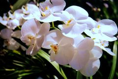 De Orchideeën van de klaver stock foto