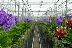 De orchideeën van DE Vanda in serre Royalty-vrije Stock Afbeeldingen